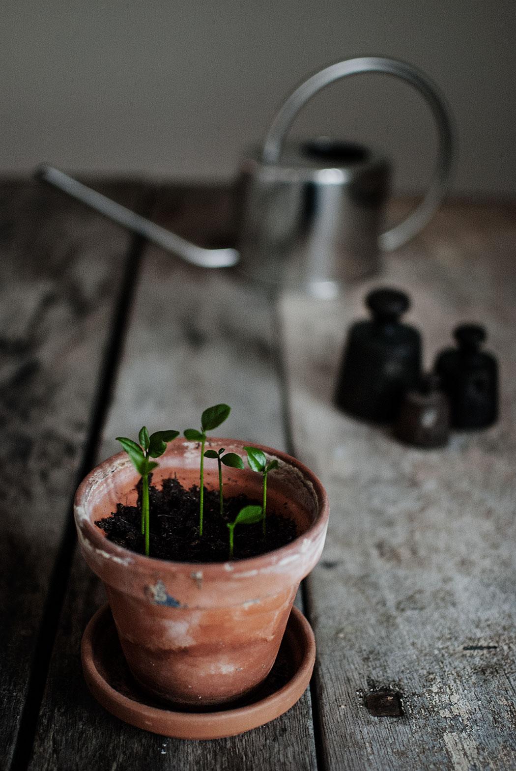 vårtecken: små citronplantor