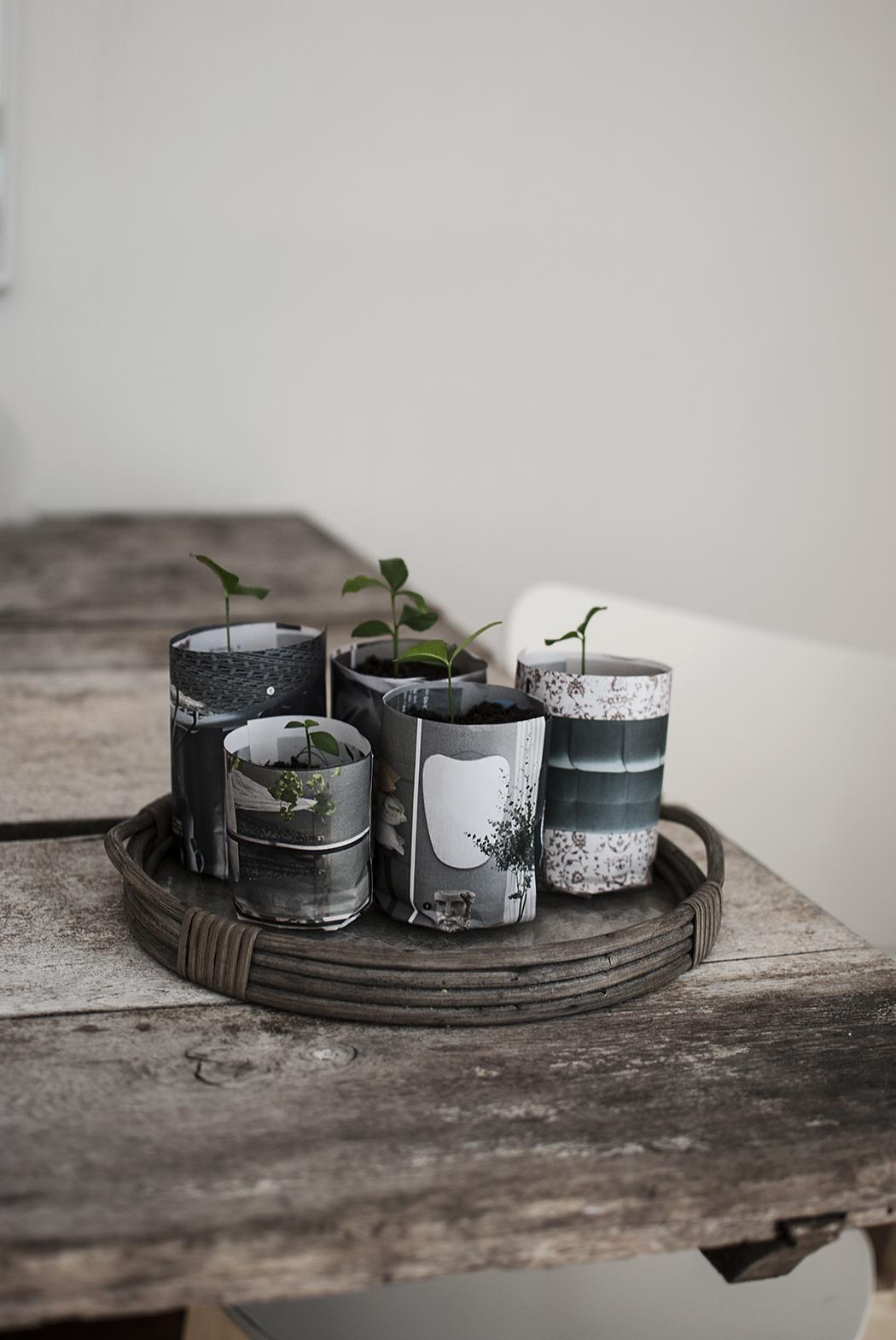 DIY – paper pots + omplantering av citronplantor