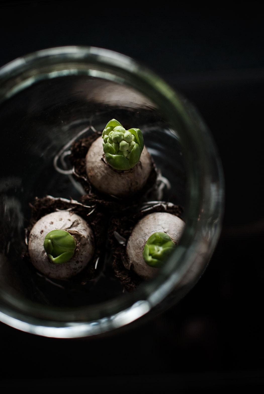 förra årets hyacintgrupp