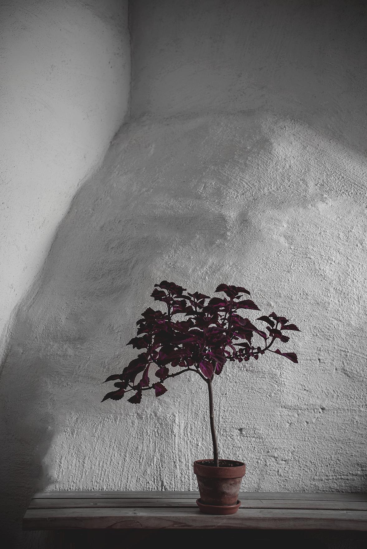 palettbladsträd
